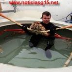 Incrível:Conheça a espécie de caranguejo com 4 metros de pernas