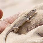 Meio ambiente - Campo de golfe massacra lagarto fluminense criticamente ameaçado de extinção