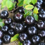 Jabuticaba   Fruta Típica da Mata Atlântica