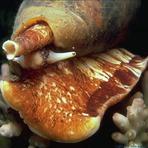 Surpreendente caracol-do-cone mata peixes dando injeções concentradas de insulina, diz pesquisa