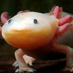 Animais - Axolotls, as Incríveis Salamandras