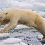 Ursos-polares rumam para o norte em busca de gelo