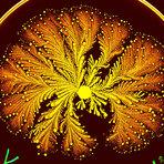 Colônias de bactérias formam Artes Psicodélicas
