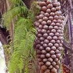 Babaçu | Palmeira brasileira