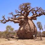Os Baobás!