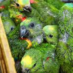Criar animais silvestres em cativeiro alimenta o tráfico de espécies