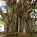 A Árvore de Tule