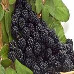 Amora | Fruta originária da China