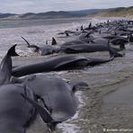 Meio ambiente - Mais de 200 baleias encalham na Nova Zelândia
