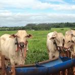 Pesquisa avalia emissão de metano por bovinos