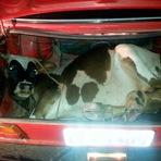 Animais - Polícia Rodoviária encontra boi dentro de um porta-malas