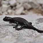Animais - As incríveis salamandras-negras