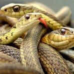 Animais - Cobras surgiram há 170 milhões de anos, diz estudo