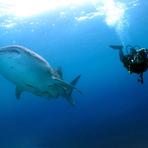 Animais - 8 Lugares para Nadar com Tubarões-Baleia [FOTOS]
