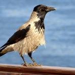 Curiosidades - Descubra porque os corvos são capazes de entender analogias