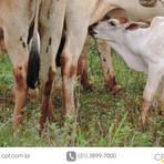 Animais - Cuidados com o bezerro recém-nascido