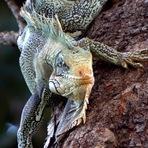 Que bicho é? Você conhece a Iguana-verde?