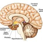 Localização da Glândula Pineal no Cérebro