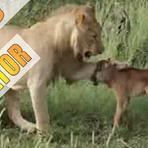 O Leão mais protetor do mundo