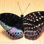 Borboleta rara tem aparência e órgãos reprodutivos de ambos os sexos ao mesmo tempo