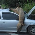 Motorista atropela 3 cavalos e com o impacto um quebrou o para-brisa e entrou dentro do carro