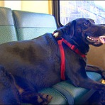 Cachorra totalmente urbanizada toma ônibus para o parque sozinha