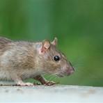 Afinal a culpa da peste negra não foi das ratazanas