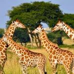 Nosso entendimento sobre as girafas não está à altura