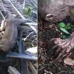 Indonésios flagram criatura bizarra em plantação; Veja o vídeo
