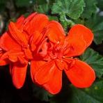 Poesias - Tenho flores para ti, meu amor!