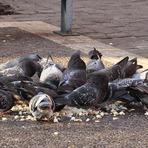 Saúde - Riscos do contato com pombos