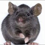 Cientistas implantam memórias em ratos