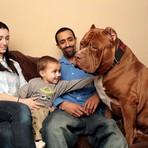 Pit bull gigante de um ano e meio pesa quase 79 kg e continua crescendo