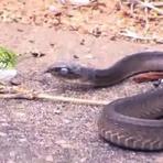 Vídeo mostra duelo incrível entre cobra e camaleão na África; assista