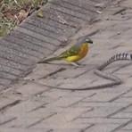 Vídeo Incrível mostra Pássaro atacando Cobra!! Assista