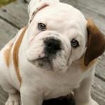 Animais - Bulldog Inglês