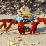 Curiosidades - Caranguejo Colorido de Galápagos!