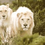 Gifs animados Leão Branco