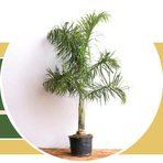 Meio ambiente - Palmeira Areca de Locuba