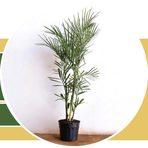 Meio ambiente - Palmeira Bambu - Raízes Marambaia