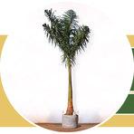 Meio ambiente - Palmeira Imperial - Raizes Marambaia