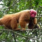 Animais - Conheçam o Uacari: o primata de cara vermelh