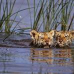 Animais - População de tigres na Índia cresce 30%