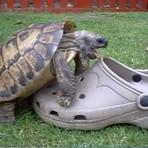 Cuidado cenas fortes! Tartaruga macho doidamente apaixonado!