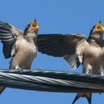 Fala humana pode ter evoluído a partir do canto dos pássaros e outras linguagens animais