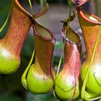 As 10 Plantas Carnívoras Mais Exóticas e Curiosas do Mundo