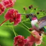 Beija Flor