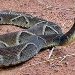 Homem sofre picada de cobra Jararaca na cidade de Ipu-Ce
