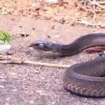 Brincadeira com cobra termina em tragédia; veja vídeo!