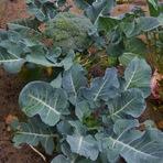Culinária - Cultivar brócolis com sucesso: 6 dicas!
